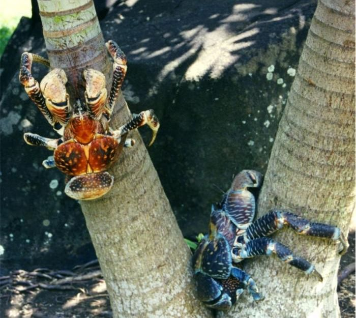 Coconut Crabs Facts: Animals of the World