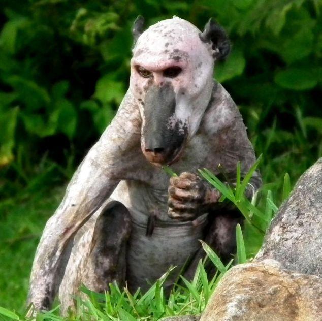 Bald Baboon (4 pics)
