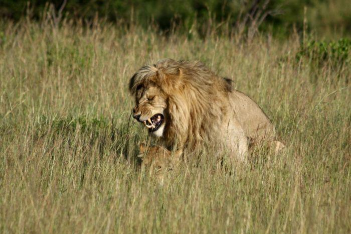 Lions Making Love (4 pics)