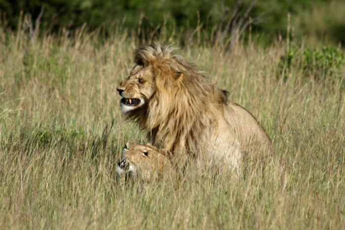 Lions Making Love (4 pics)