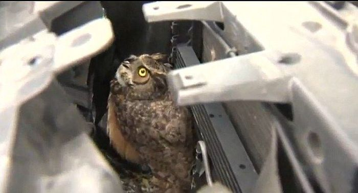 Owl Got Hit by a Car and Survived (8 pics)