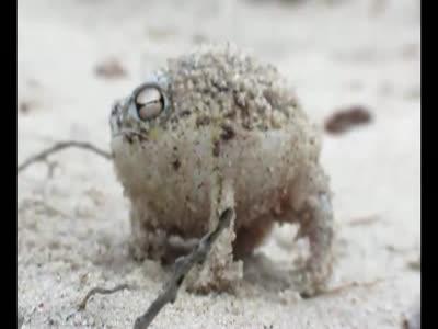 Weird Rain Frog