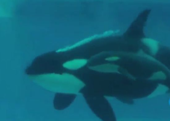 Birth of The Baby Killer Whale