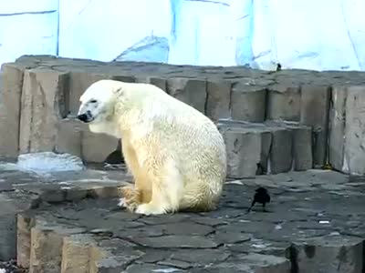 Raven Trolling White Bear