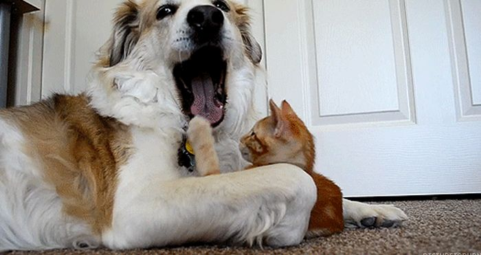 Cats Play with Dogs (14 gifs)