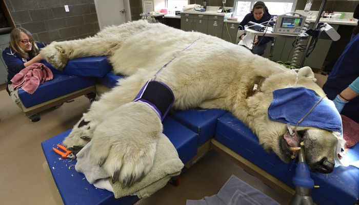 Polar Bear Visits Dentist (10 pics)