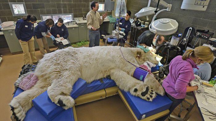 Polar Bear Visits Dentist (10 pics)