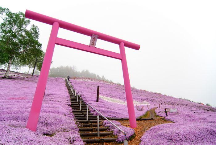 Shibazakura (23 pics)