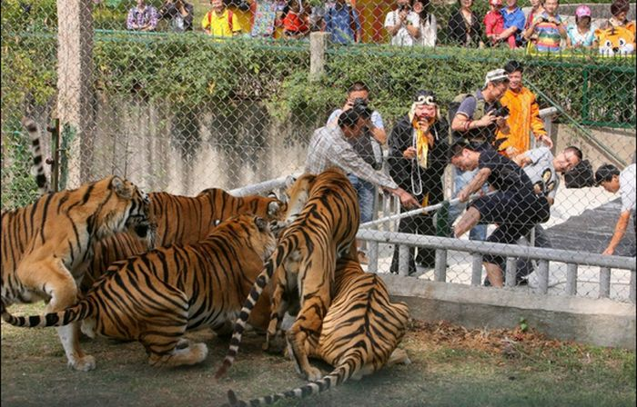 Tiger Tug-O-War (6 pics)
