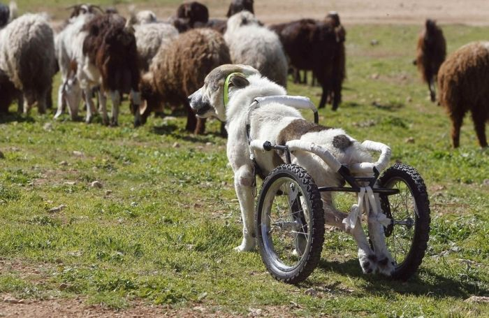 Roller Legs for a Paralyzed Dog (8 pics)
