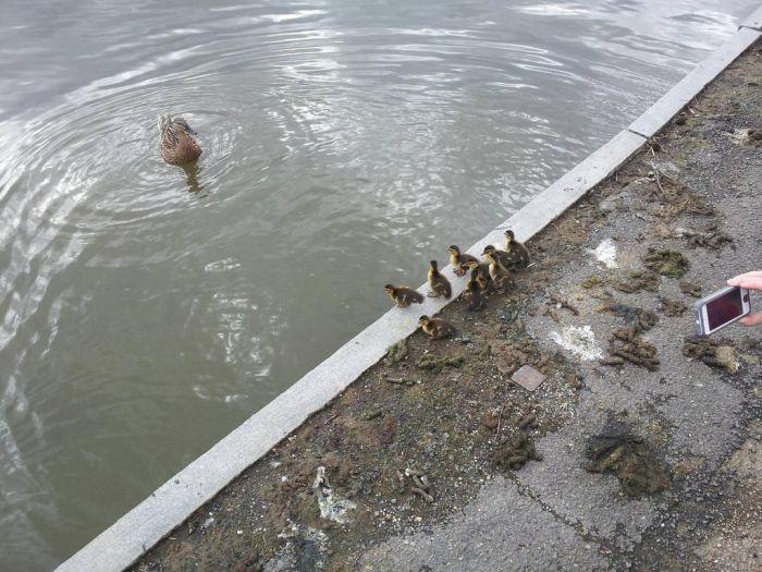 Duckling Escort (10 pics)