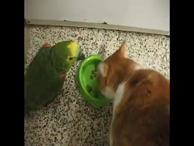Eating Battle: Cat vs Parrot