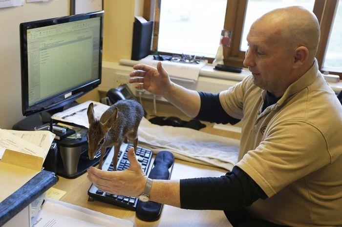 Tiny Dik-dik Antelope (11 pics)