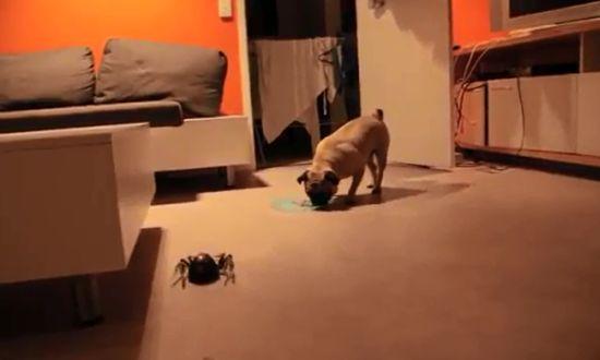 Giant Spider vs Pug
