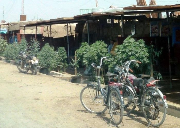 Cannabis in the Streets of Afghanistan (3 pics)