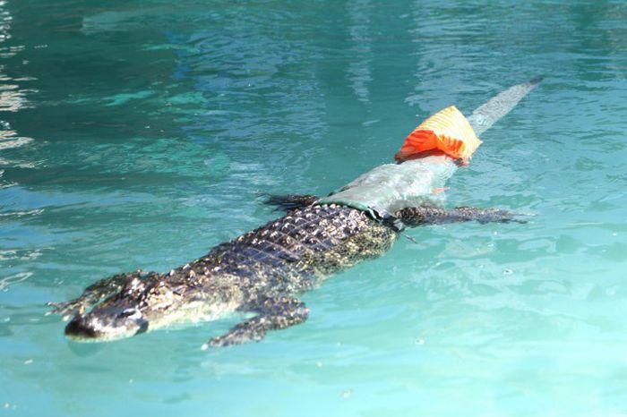 Prosthesis for Alligator (6 pics)