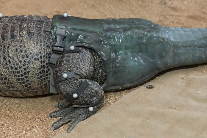 Prosthesis for Alligator (6 pics)