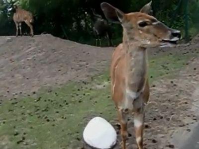 Weird Antelope Sound
