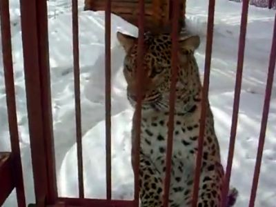 Leopard Hates Videocamera