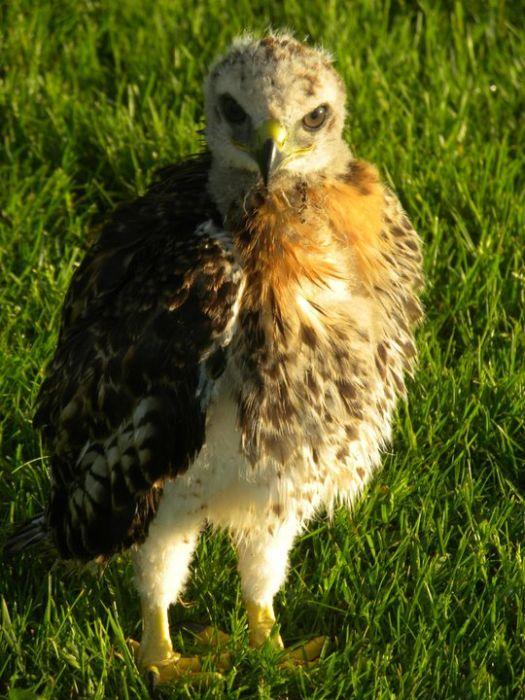 Ellis the Hawk (15 pics)