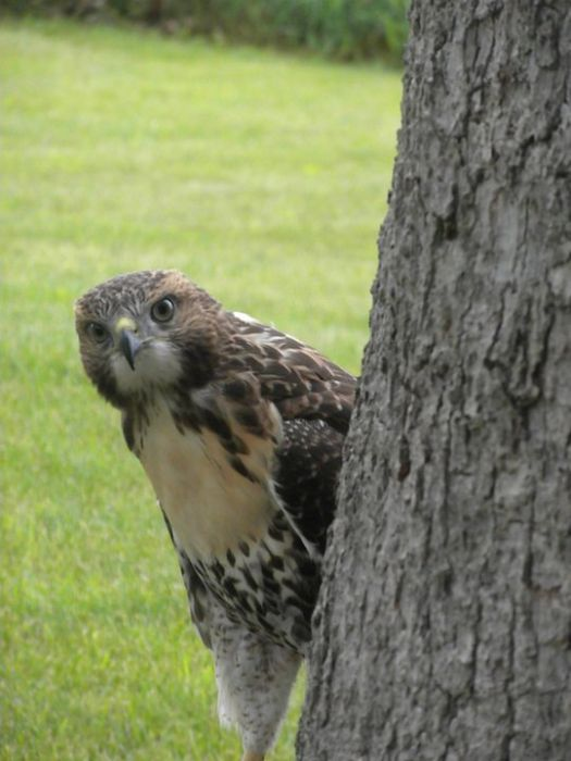 Ellis the Hawk (15 pics)