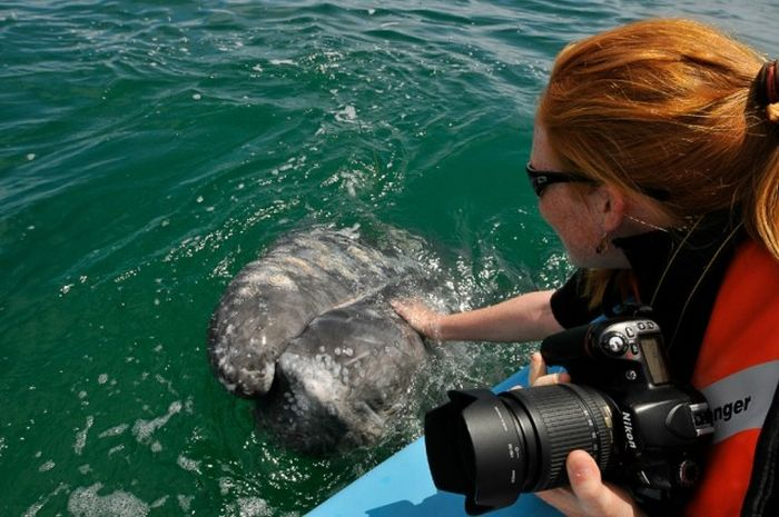 How to Kiss a Whale (21 pics + video)