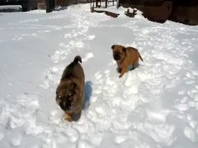 Funny Puppies Playing in Snow