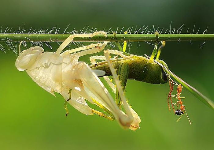 This Is How Grasshopper Moults (5 pics)