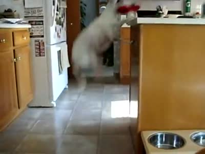 Funny Dog Jumps All The Time