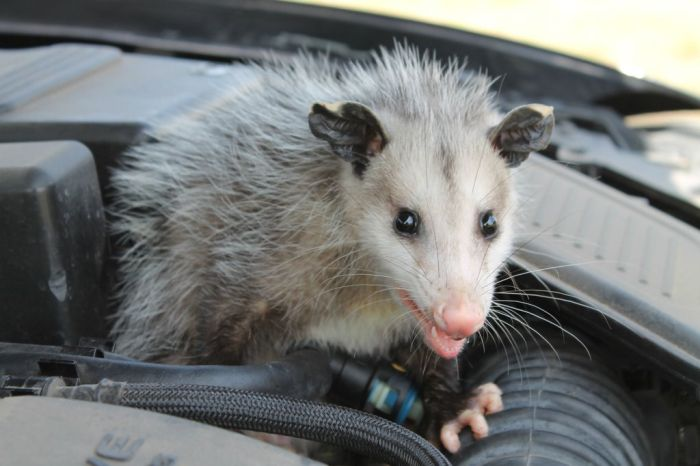 Possum Under the Hood (7 pics)