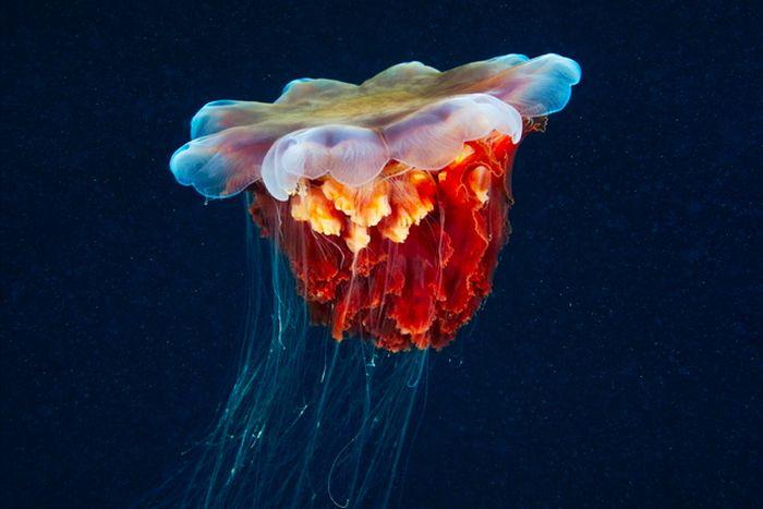 Stunning Jellyfish (50 pics)