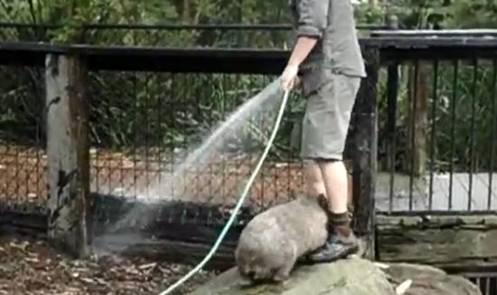 Cute Little Wombat Wants to Play
