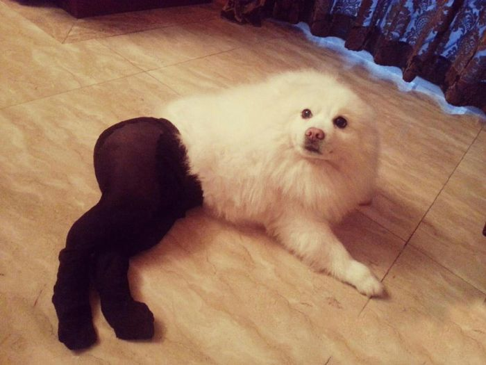 dogs in pantyhose