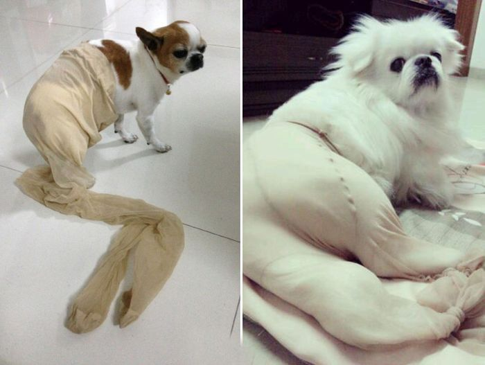 Dogs Wearing Pantyhose (18 pics)