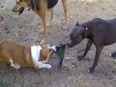 Dogs Battle: Corgi vs Pitbull