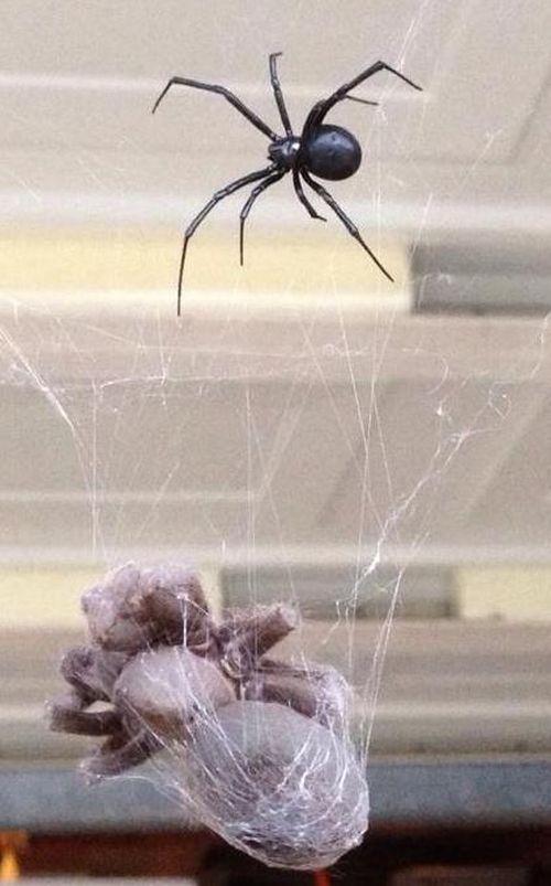 Tarantula vs Black Widow (3 pics)