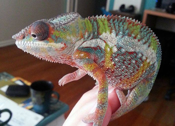 Chameleon from 1 to 90 Days (9 pics)