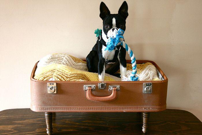 Cute Boston Terriers (50 pics)