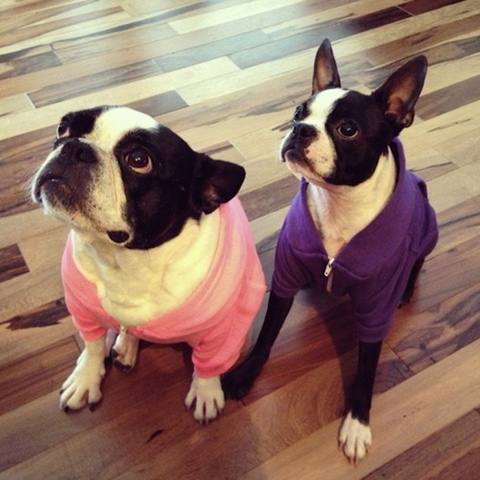 Cute Boston Terriers (50 pics)