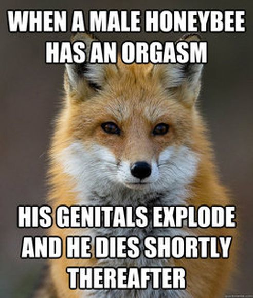 Fun Fact Fox Meme (60 pics)