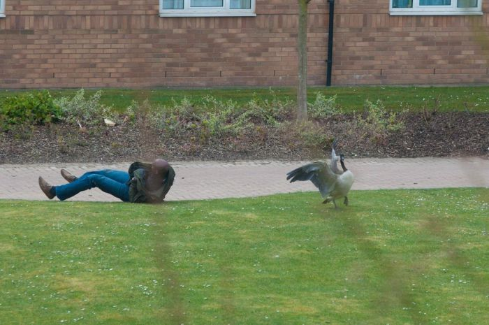 Angry Geese (6 pics)