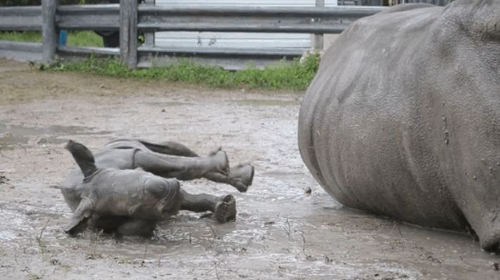 Baby Rhino and Its Mom (7 gifs)