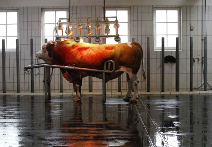 At The Bull Sperm Bank (18 pics)