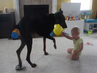 Cute Baby Playing With Angry Doberman