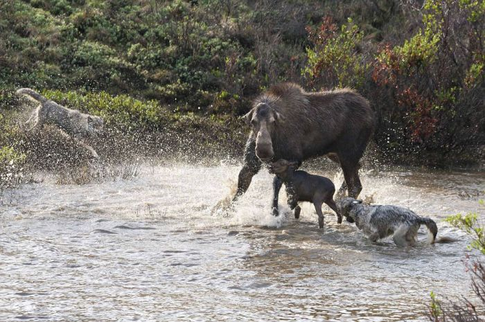 Mother Moose Battles to Save Her Newborn (12 pics)