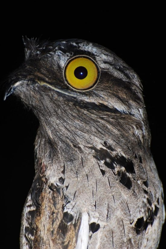 Potoo Bird Photos (13 pics)