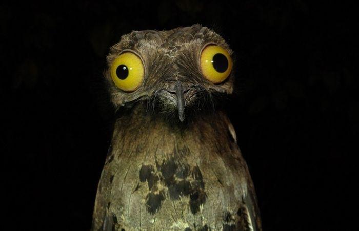 Potoo Bird Photos (13 pics)