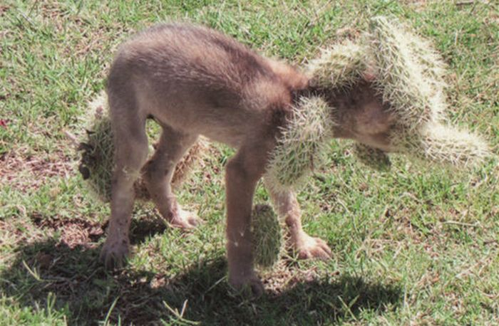 Coyote Rescued after Being Covered with Cholla Cactus (5 pics)