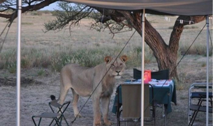 When Lions Come for a Visit (6 pics)
