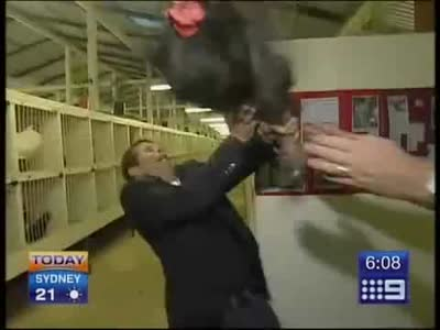 TV Reporter Scared of Giant Rooster